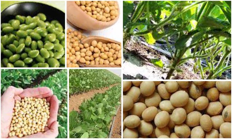 Soya Tohumu Üretimi ve Tohum Türleri