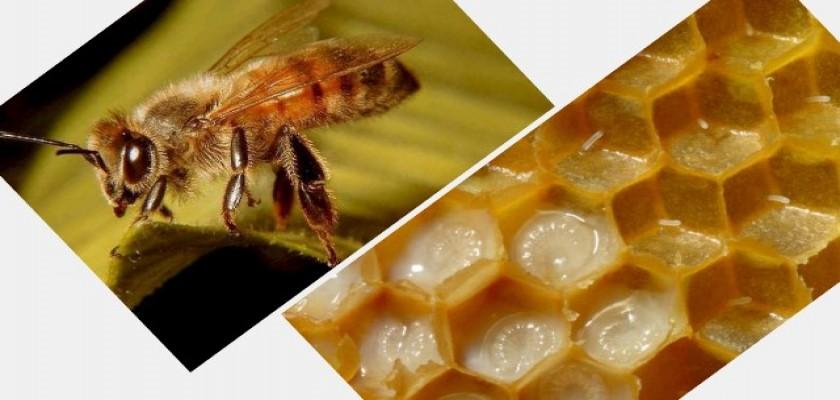 Arı Sütünün Faydaları Nelerdir?