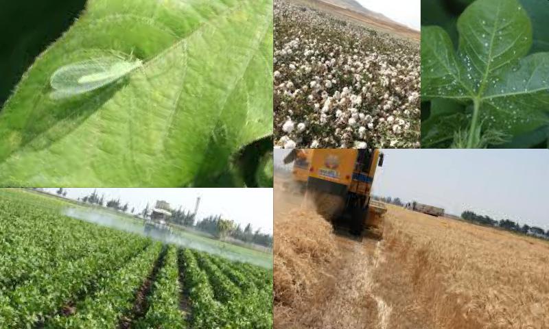 Tohumluk Durum Buğdayı Çeşitleri